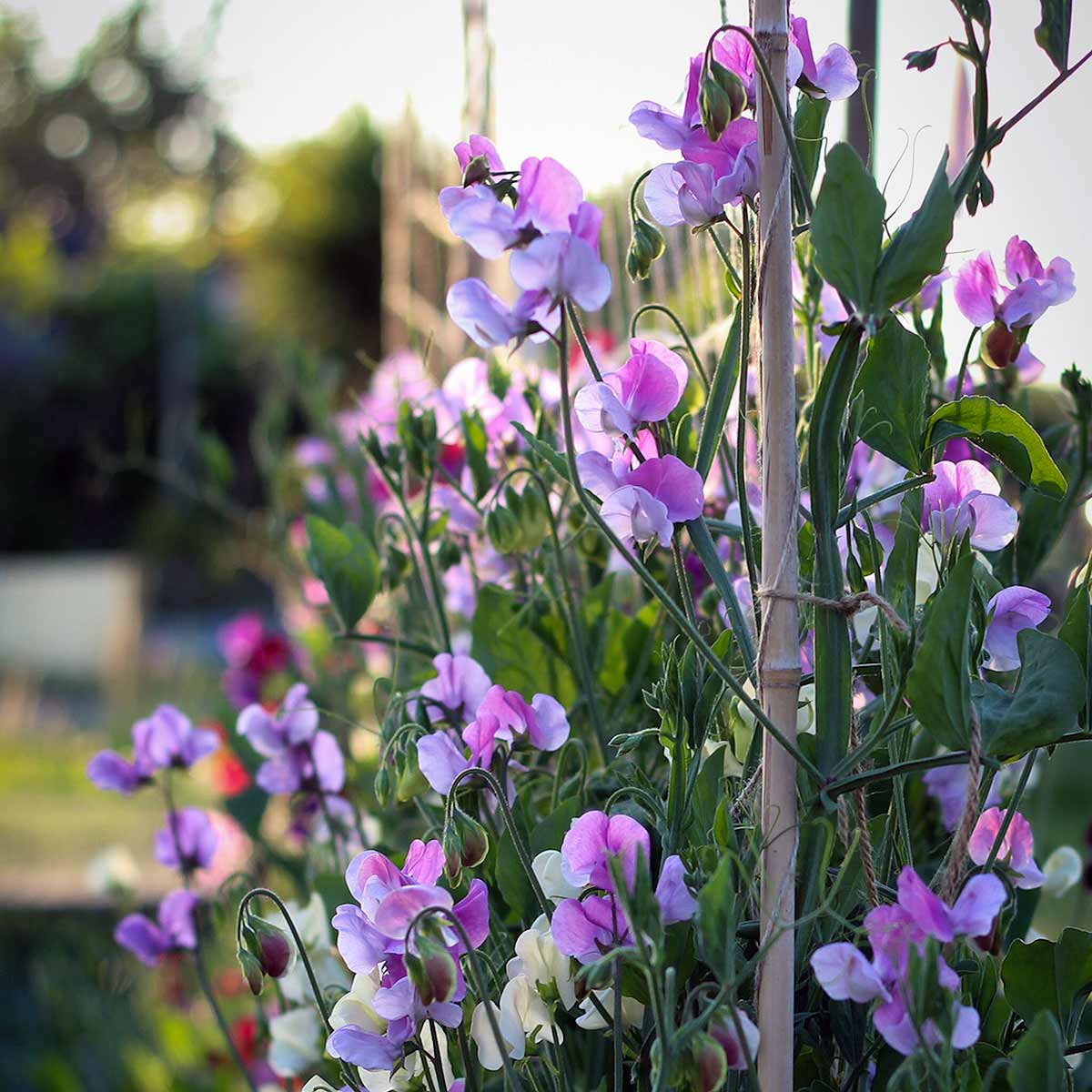 sweet peas tied in row