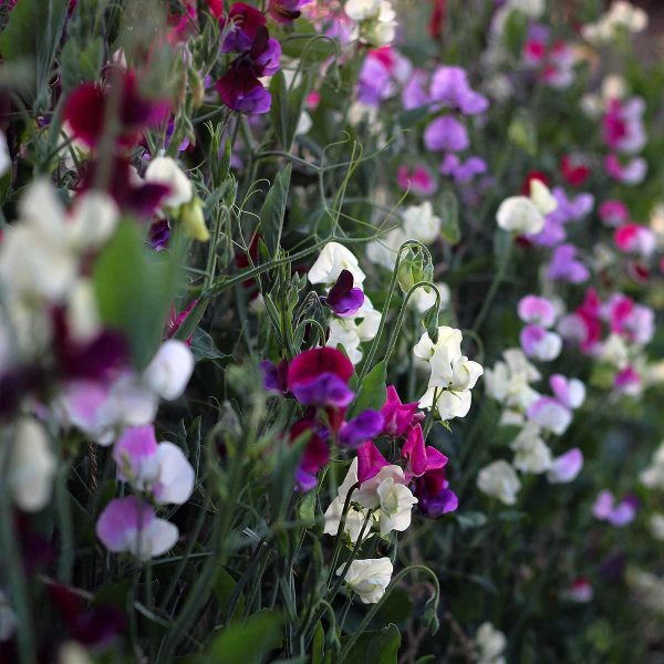sweet peas in flower